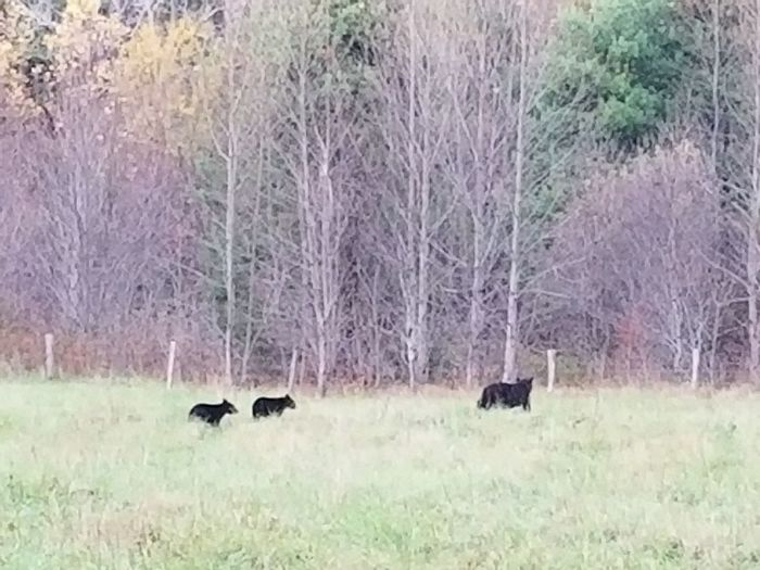 Grass Nature Field Day Outdoors No People Mammal Animal Themes Animals In The Wild Tree Animal Wildlife Beauty In Nature Domestic Animals Bears Bears🐻 Bears In The Wild Cades Cove, Tennessee Momma Bear And Her Cubs Momma Bear With Babies
