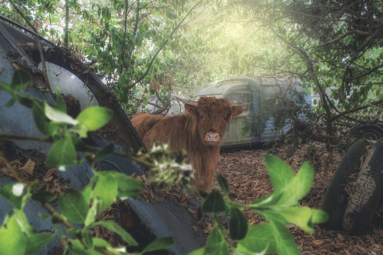 Portrait of cow in a forest