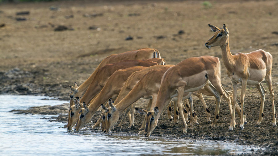 Flock of impalas drinking water at lakeshore