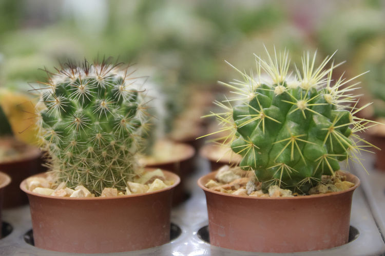 Cactus in the pot. Cactus Succulent Plant Thorn Growth Potted Plant Plant Sharp Close-up Beauty In Nature Green Color Nature