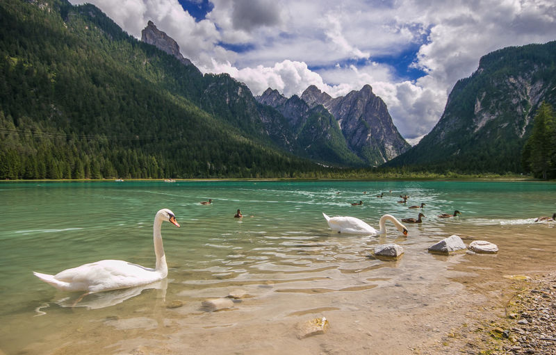 Beautiful and elegants swans in the Toblach lake in South Tyrol, Alto Adige, Italy Toblach Toblacher See Toblachersee Lago Di Dobbiaco Dobbiaco Dobbiaco Lake Swan Swans ❤ Swans On The Lake Animal Themes Animal Wildlife Animals Birds Feather  Dolomites, Italy Dolomites Dolomiti Dolomiti Italy Dolomiten Alps Alpine Mountain Mountain Range Nature Landscape South Tyrol South Tyrol, Italy Alto Adige Trentino Alto Adige Italy Europe Summer Vacations Holiday Card Water Swan Lake Trekking Sport Summertime Wanderlust Backgrounds Desktop Wallpaper Forest Wild Wilderness Bird Animals In The Wild Beauty In Nature Animal Lake Group Of Animals Scenics - Nature Cloud - Sky Day Non-urban Scene Sky No People Outdoors Floating On Water