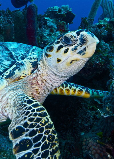Bahamas Eretmochelys Imbricata Hawksbill Turtle Nassau Sea Turtle Animal Animal Themes Animal Wildlife Animals In The Wild Carribean Close-up Critically Endangered Marine Nature One Animal Portrait Reptile Sea Sea Life Swimming Turtle UnderSea Underwater Vertebrate Water