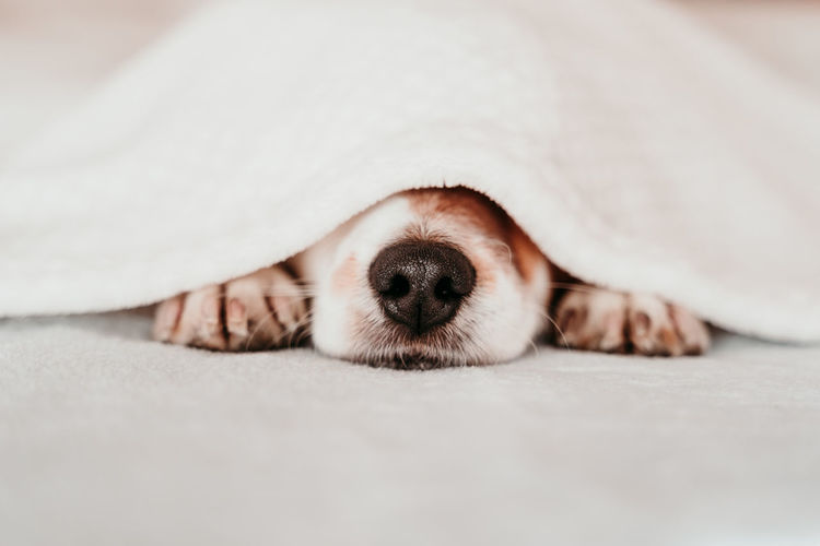 Close-up of dog covered with blanket