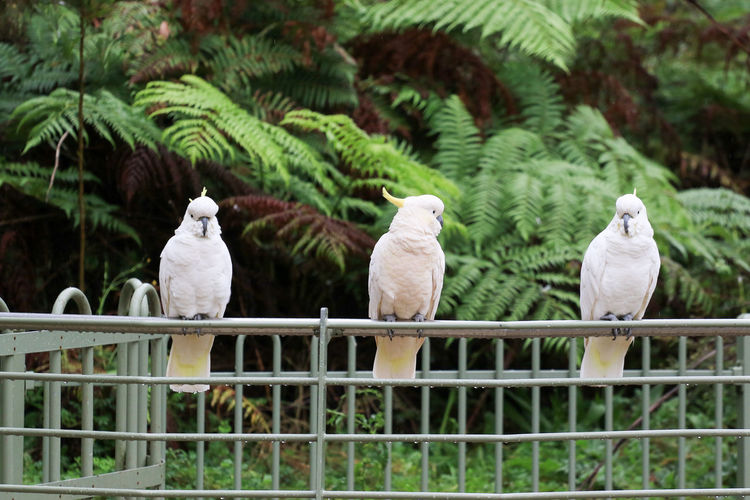 Cockatoos perching on metallic fence in park