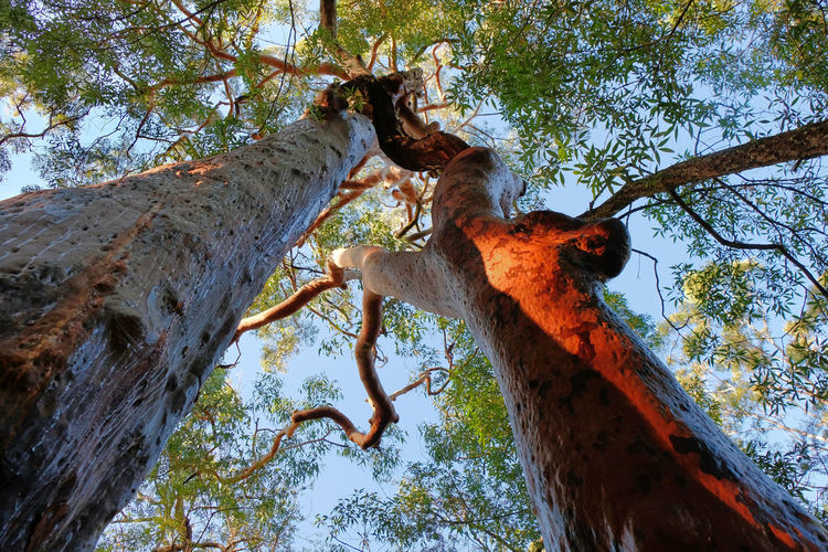New South Wales  Sydney Garigal National Park Angophora Sydney Red Gum Wet Trunk Tree Plant Low Angle View Tree Trunk Nature Day Sky Outdoors Twin Two Light Effect Sun Shadow Orange