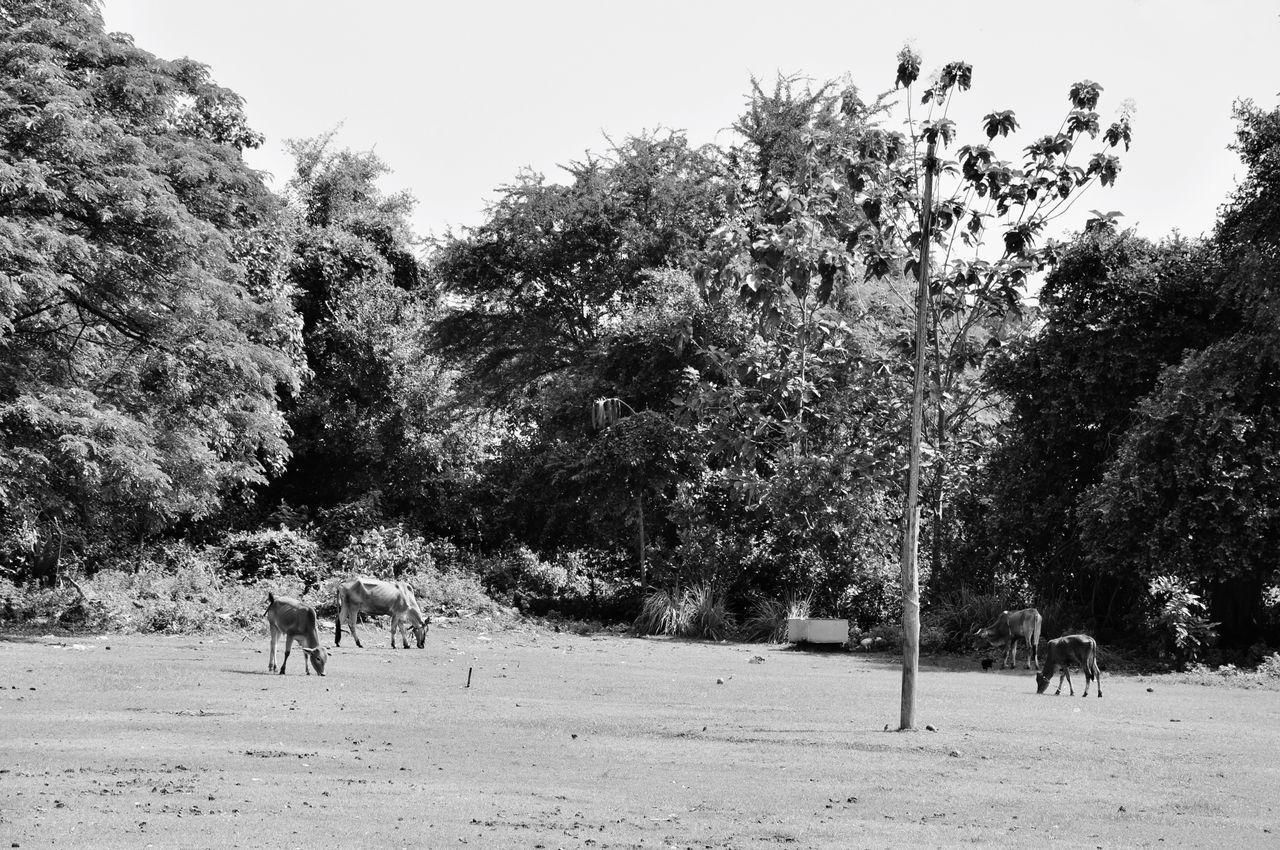 tree, plant, mammal, animal themes, animal, nature, domestic animals, day, land, group of animals, domestic, vertebrate, pets, field, clear sky, livestock, animal wildlife, outdoors, growth, sky, no people, herbivorous