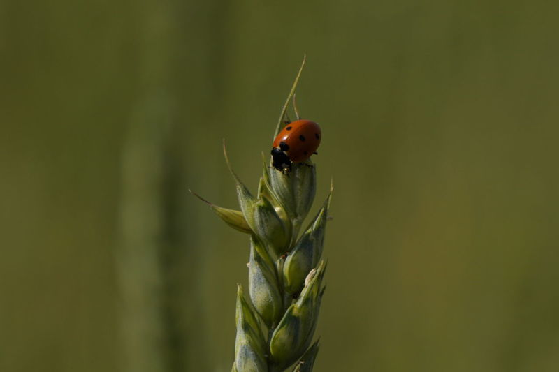LadyBugLove Ladybug Ladybug🐞 Animal Themes Animals In The Wild Close-up County Countyside Day Grain Grainfields Green Color Growth Insect Ladybug Collection Ladybugphoto Ladybugs Ladybugs Everywhere Ladybugs Photography Nature No People One Animal Outdoors Plant