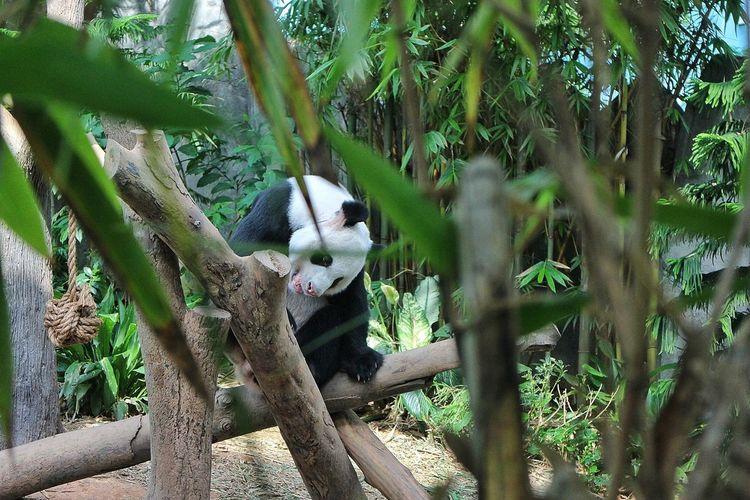 panda Panda Panda Bear Singapore River Safari Tree Palm Tree Cactus Sky Plant Close-up