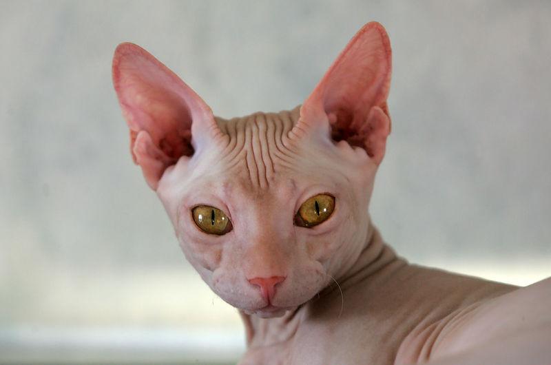 Close-Up Portrait Of Sphynx Cat