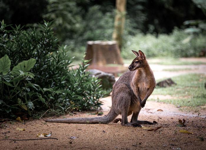 Full length of a kangaroo on field