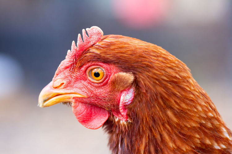 Closeup of a chicken Dinosaur Quiff Animal Animal Body Part Animal Eye Animal Head  Animal Themes Beady Eye Beak Bird Chicken Chicken - Bird Close-up Day Domestic Domestic Animals Focus On Foreground Livestock Mammal No People One Animal Pets Profile View Side View Vertebrate