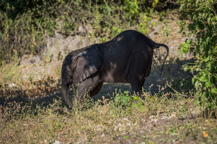 African elephant calf walking in forest