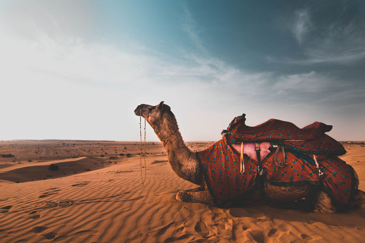 The Traveler - 2018 EyeEm Awards Animal Animal Themes Arid Climate Camel Climate Cloud - Sky Desert Domestic Domestic Animals Herbivorous Land Mammal Nature No People One Animal Outdoors Pets Sand Sand Dune Scenics - Nature Sky Vertebrate Working Animal