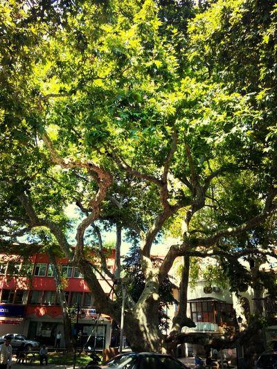 Yakacık Meydanı tarihi çınar ağacı