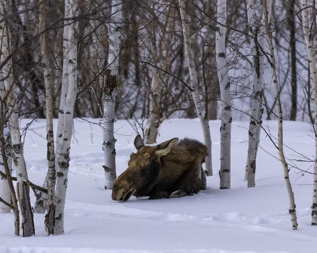 Sweet Dreams Moose Bull Snow Winter Mammal Animal Animal Wildlife Herbivorous Animals In The Wild