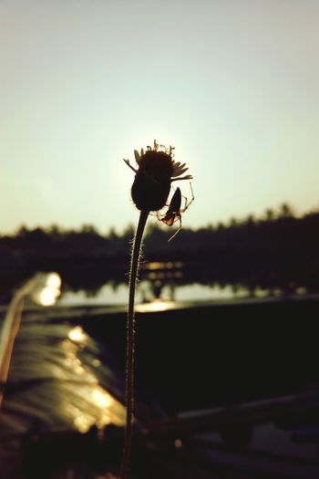 spider in the head flower Potrait Silhouette EyeEm Nature Lover EyeEm Gallery EyeEm Flower Eyeem Flowers Gallery EyeEm Spiders Eyeem Spider Photography Eyeem Silhouette Silhouette Flower Silhouette Spider Spider Spider In The Flower Beauty In Nature Flower Sunset Sunlight Plant Nature Sky Flowering Plant Flower Head Outdoors No People