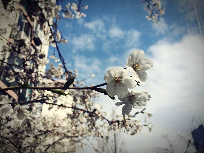 Spring is just around the corner Taking Photos IPhoneography Cherry Blossoms Time For Relax Here Comes The Spring Flowers Flower Collection
