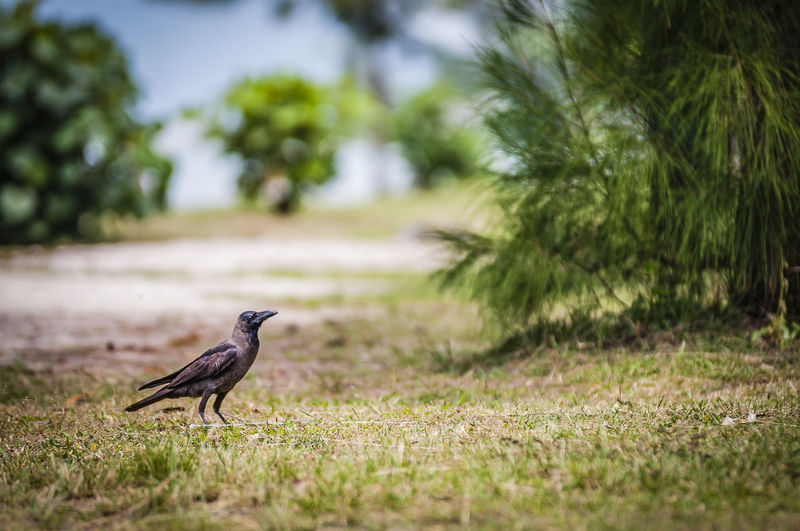 Side view of crow on field