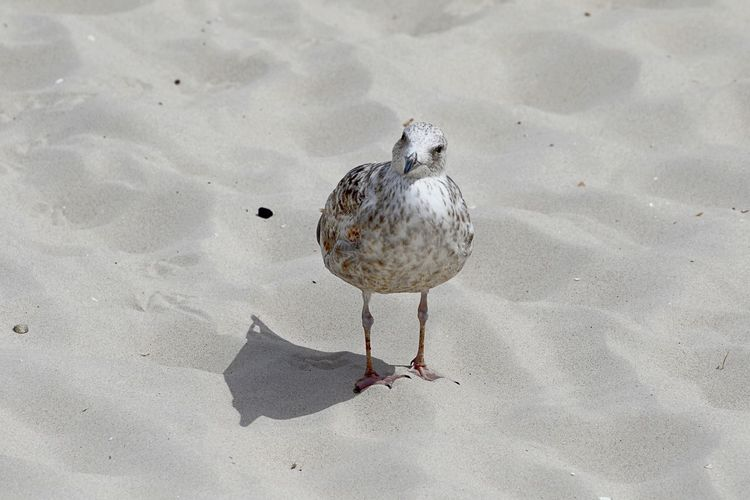 Beach Life Animal Themes Animal Wildlife Animals In The Wild Bird Day Nature No People One Animal Outdoors Sand Seagull Summer Time  Watching At You