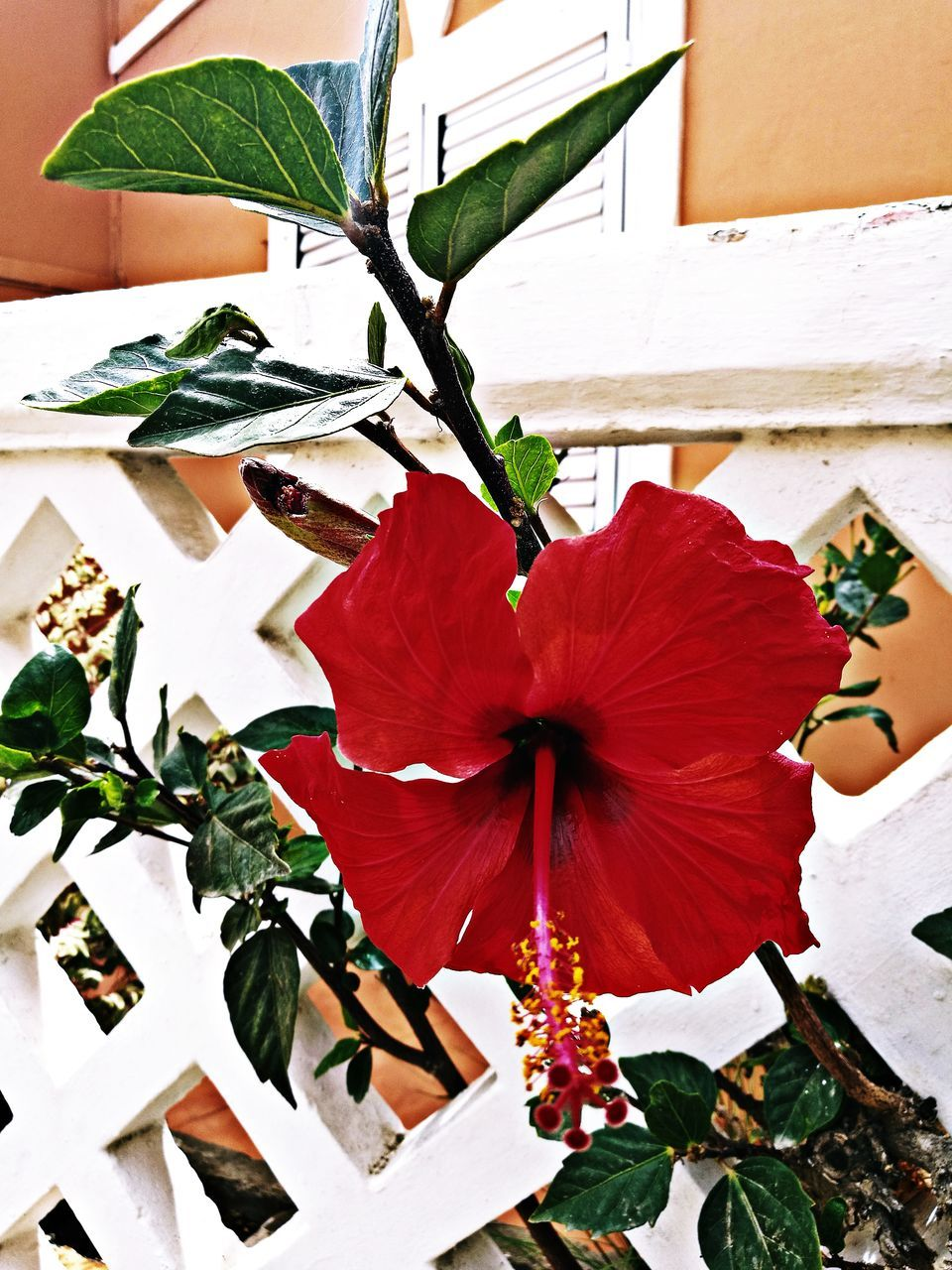 flower, leaf, fragility, petal, no people, plant, growth, red, flower head, day, close-up, freshness, nature, beauty in nature, outdoors, blooming, hibiscus, architecture