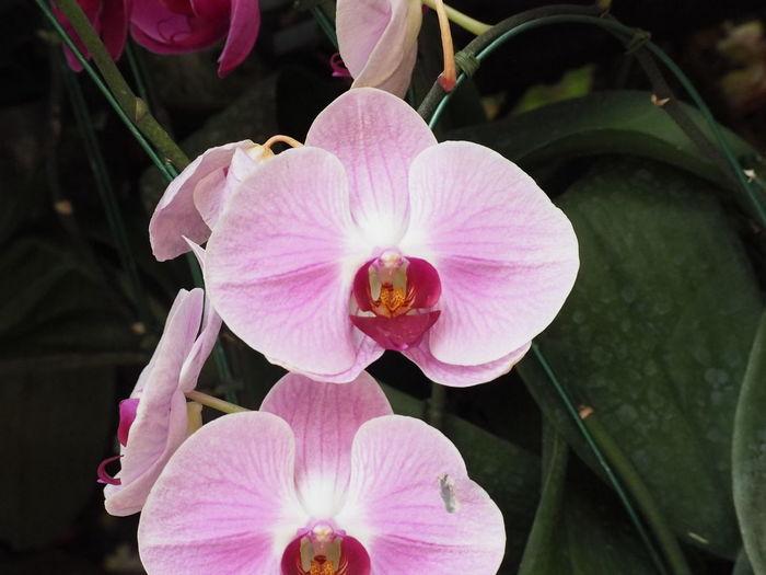 Orkid Flower