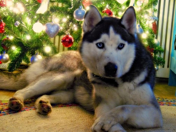 Syberian Husky Animal Themes Christmas Close-up Day Dog Domestic Animals Husky Indoors  Looking At Camera Mammal No People One Animal Pets Portrait Syberianhuskey Syberianhusky The Portraitist - 2018 EyeEm Awards