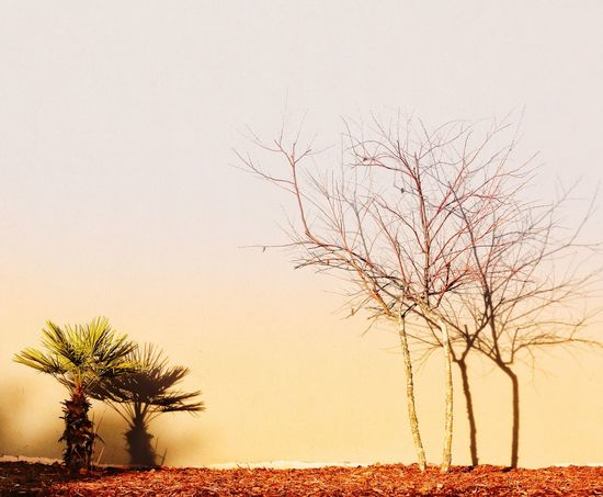 And shadows make four. Shadow Shadows & Lights Landscape Landscape Design JGLowe Tree Tranquil Scene Bare Tree Tranquility Nature Beauty In Nature Scenics Landscape Clear Sky Lone No People Outdoors Tree Trunk Branch Growth Palm Tree Day