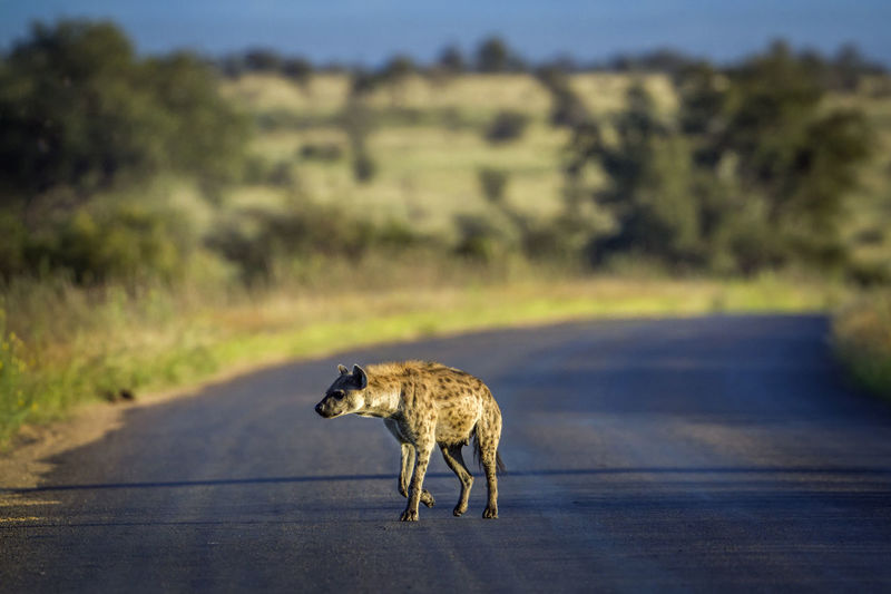 Hyena on road at national park