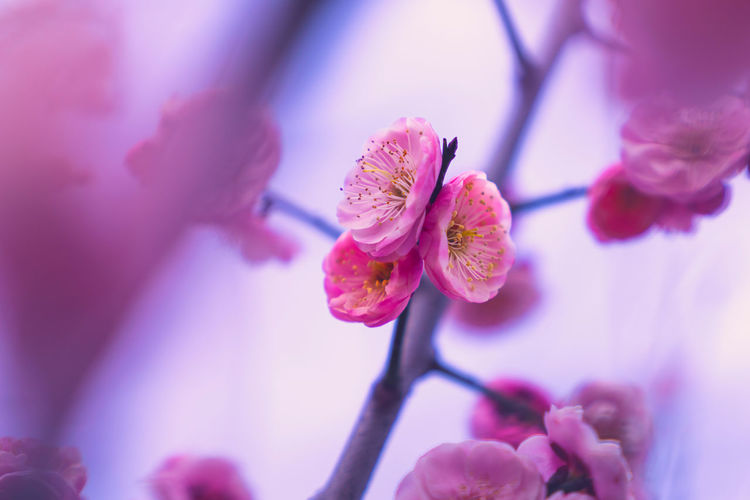 Spring plum blossoms Plum Blossom Spring Flower Growth Close-up Nature Beauty In Nature Plant Flowering Plant Vulnerability  Fragility Freshness Focus On Foreground Flower Head Selective Focus Pink Color Petal Springtime Tree Blossom Day Inflorescence Bud Purple Pollen