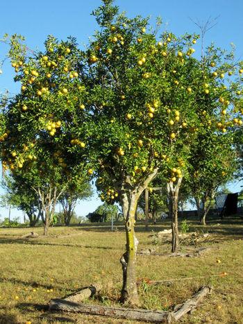 Citrus Fruit Day Food Fruit Growth Nature No People Outdoors Scenics Sky Tangerine Tangerine Tree Tangerines Tree