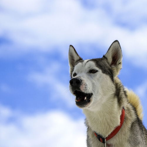 Siberian husky dog wearing red necklace and barking portrait in cloudy sky background
