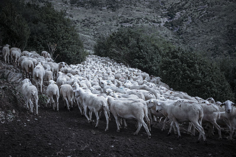 Sheep and lamb in the Pyrenees Animal Themes Livestock Group Of Animals Mammal Animal Sheep Domestic Animals Domestic Pets Herbivorous Pyrenees Meadows Valey Grass Flock Wool Cheese White Pallars Region Catalonia Counted