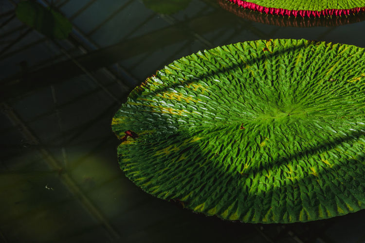 lotus leaf Leaves Business Still Life Pond Water Lotus Leaf Lotus High Angle View Plant Part Leaf Natural Pattern Outdoors Focus On Foreground Plant Beauty In Nature Vertebrate Nature Day Animal Themes No People Close-up Green Color