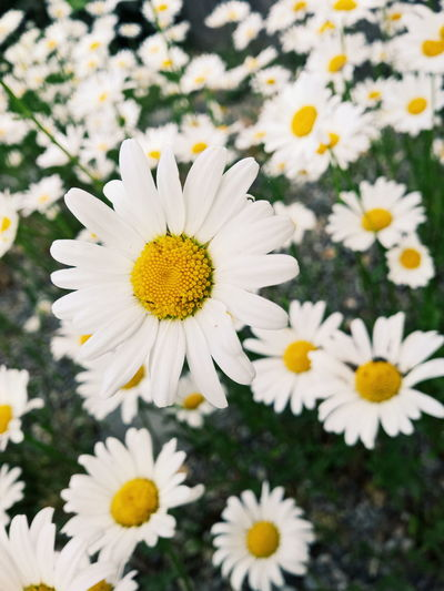 Daisy Abundance Beauty In Nature Blooming Blossom Botany Close-up Daisy Day Flower Flower Head Focus On Foreground Fragility Freshness Growth In Bloom Nature No People Outdoors Petal Plant Pollen Selective Focus White White Color Yellow