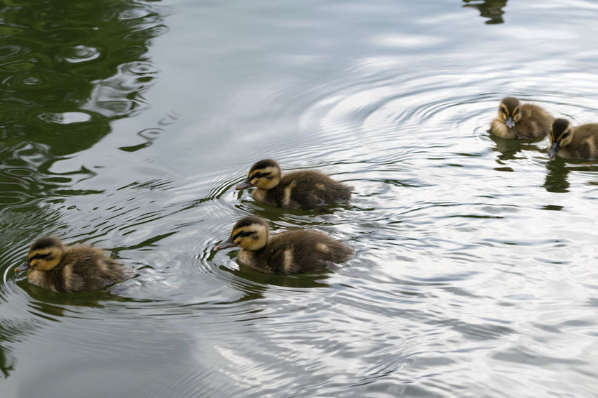 Young Bird ! ヤングバード1号2号3号4号5号! Animal Family Animal Themes Animals In The Wild Bird Day Duckling Lake Nature No People Outdoors Swimming Togetherness Water Water Bird Waterfront Wildlife Young Animal Young Bird
