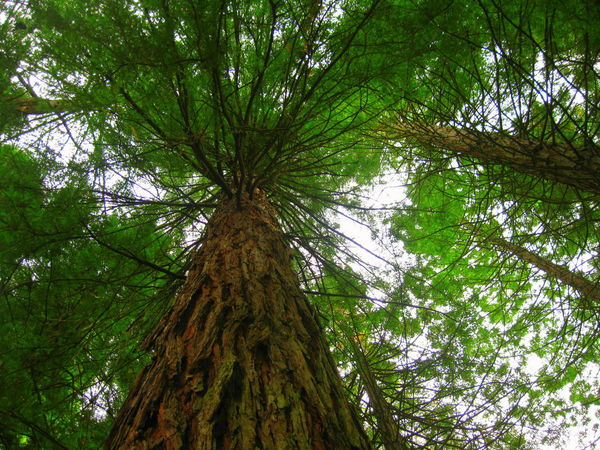 View From Below Tree Trunk Redwoods Redwood Park Redwood Forest Greenery Forest Foliage Plant Beauty In Nature The Great Outdoors With Adobe