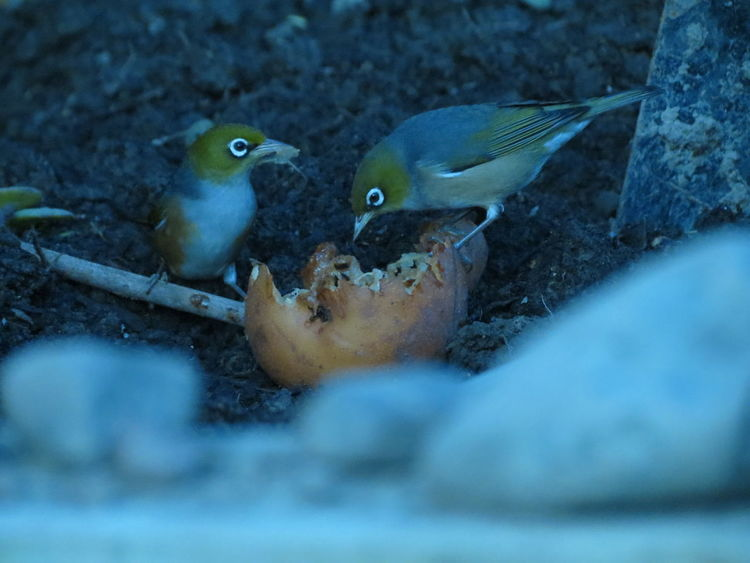 EyeEm Selects Animals In The Wild Animal Wildlife Animal No People Outdoors Nature Animal Themes Day Bird Beauty In Nature Pear Pair Feeding  Nature Eating Natural Food Organic Organic Food Life Shy Waxeye Animals In The Wild Cheeky Two