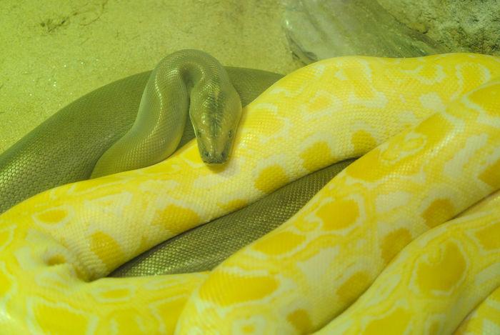 Albinism Albino Close Up Close-up Detail Indoors  Organic Python Snake