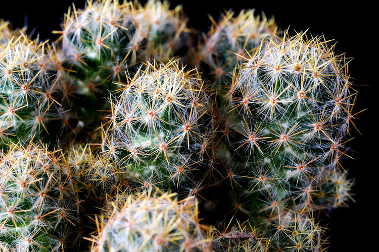 Barrel Cactus Beauty In Nature Botany Cactus Close-up Dandelion Seed Day Field Focus On Foreground Green Color Growth Natural Pattern Nature No People Outdoors Plant Selective Focus Sharp Spiked Spiky Succulent Plant Thorn Warning Sign