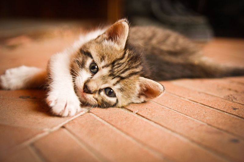 Pet Portraits One Animal Pets Domestic Animals Animal Themes Mammal Domestic Cat Indoors  Feline Lying Down Whisker Looking At Camera No People Home Interior Hardwood Floor Relaxation Portrait Close-up Day