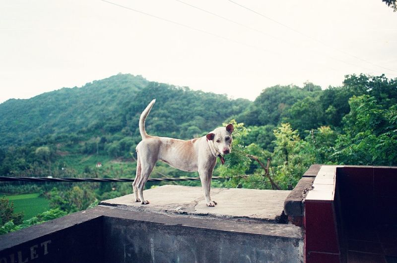 A Bali dog is chilling and enjoying the view in the hills of Karangasem in Bali. This girl is so friendly to humans! One Animal Animal Domestic Animals Standing No People Outdoors Landscape Mountain Agriculture Mammal Dogs