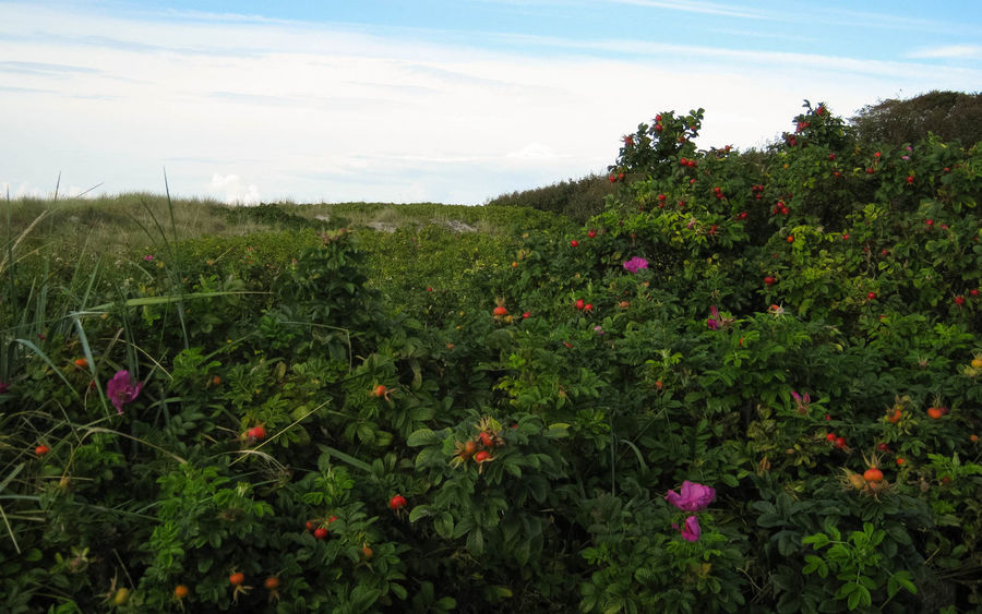 rosehips in the dunes of the west beach darss Wild Brier Rosehip Flower Beauty In Nature Cloud - Sky Day Dog Rose Environment Field Flower Flowering Plant Green Green Color Growth Land Landscape Nature No People Outdoors Plant Rosehips Scenics - Nature Sky Tranquil Scene Tranquility