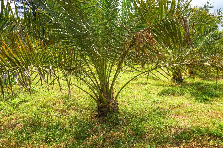 Barhi Dates Dates On Date Palm Barhi Date Palm Date Palm Garde Date Palm Tree Date Palms Field Land