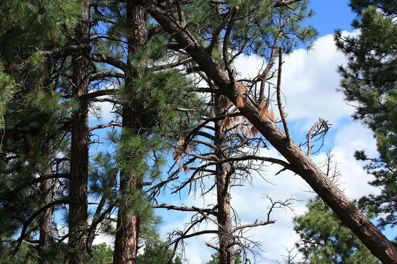 Leaning diagonal tree trunk in pine forest Tree Nature Low Angle View Branch Growth Outdoors Forest Sky Day Beauty In Nature No People Tree Trunk Tranquility Blue Scenics Animal Themes Fallen Tree Ruidoso, NM