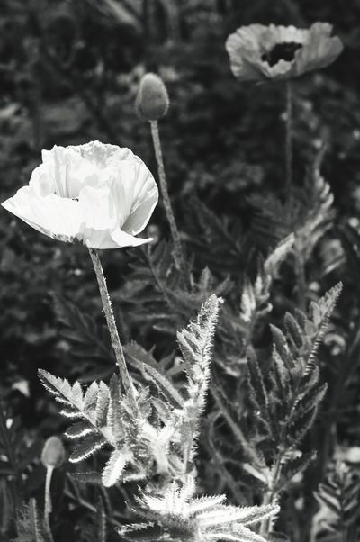 Poppy Mohn Flower Head Flower Focus On Foreground Nature Plant Growth Day Sunlight Opium Outdoors Beauty In Nature Poppy Fields Poppy Love Blackandwhite Seeds Leaf Garden Field Park City Urban Summer Spring EyeEmNewHere The Great Outdoors - 2017 EyeEm Awards