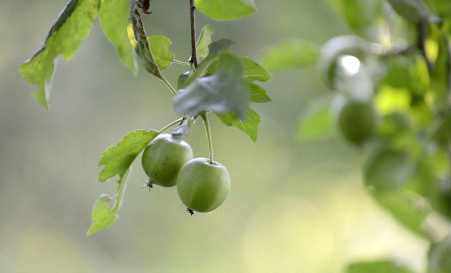 unripe apples in orchard Apple Apple Fruit Apple Tree Apple Trees Garden Bokeh Food Fresh Fruit Morning Unripe Apple