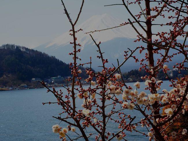 富士山 Mountain Beauty In Nature Sky Flower 🌸spring Day Clear Sky 日本2017年 From My Lens Sakura2017 Lake Freshness