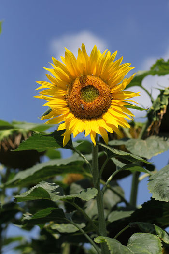 Close-up of yellow sunflower against sky