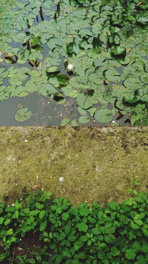 Leaves Lotus