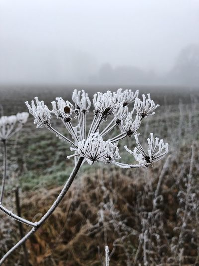 Close-up of wilted plant on snow covered field